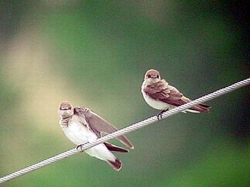 Northern Roughwinged Swallows